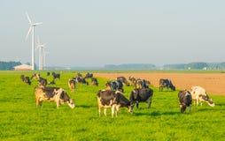 Kor i en äng i solljus Fotografering för Bildbyråer