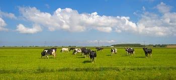 Kor i en äng i solljus Arkivfoto
