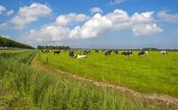 Kor i en äng i solljus Arkivfoton