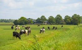 Kor i en äng i solljus Royaltyfria Bilder