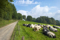 Kor i en äng i sommar Royaltyfria Bilder