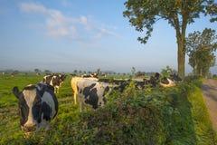 Kor i en äng i sommar Fotografering för Bildbyråer