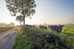 Kor i en äng i sommar Royaltyfria Foton