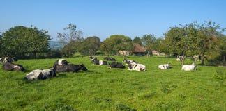 Kor i en äng i sommar Arkivbilder