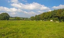 Kor i en äng i sommar Arkivbild