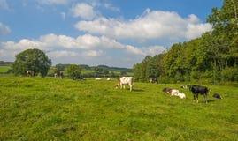 Kor i en äng i sommar Arkivfoto