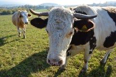 Kor i en beta royaltyfri fotografi