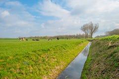 Kor i en grön äng i sommar Fotografering för Bildbyråer