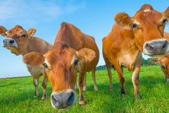 Kor i en grön äng i solljus Arkivfoton