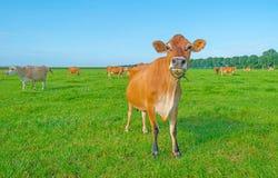 Kor i en grön äng i solljus Royaltyfria Foton