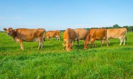 Kor i en grön äng i solljus Fotografering för Bildbyråer
