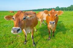 Kor i en grön äng i solljus Arkivfoto