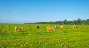 Kor i en grön äng i solljus Arkivbilder
