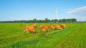 Kor i en grön äng i solljus Royaltyfri Bild