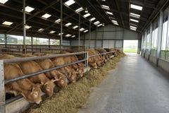 Kor i en ladugård Fotografering för Bildbyråer