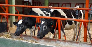 Kor i en lantgård Arkivbilder