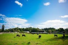 Kor i en lantgård Royaltyfri Foto