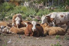 Kor i en lantgård Fotografering för Bildbyråer
