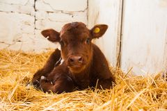 Kor i en lantg?rd Mejerikor royaltyfria foton