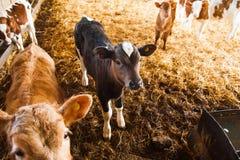 Kor i en lantg?rd Mejerikor fotografering för bildbyråer