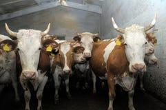 Kor i en stall Arkivbild