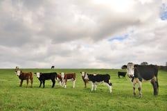 Kor i ett fält Royaltyfri Fotografi