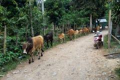 Kor i ett fält nära Vang Vieng, Vientiane landskap, Laos royaltyfri bild