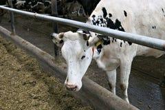 Kor i ett stall Royaltyfri Bild