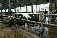 Kor i ett stall Royaltyfria Bilder