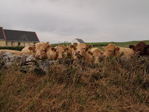 Kor i fält med ladugården Arkivbilder