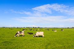 Kor i fält i sommar arkivfoto