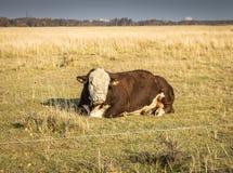 Kor i fälten av Vestamager royaltyfri foto