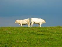 Kor i fältkinden som är fräck mot vänd annan kind Arkivbilder
