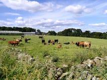Kor i fältet som ser till kameran Arkivbild