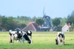 Kor i holländskt landskap i Holland Arkivbild