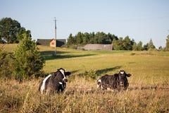 Kor i jordbruksmarken Royaltyfri Foto