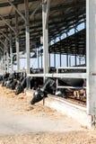 Kor i ladugården arkivbilder