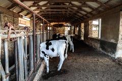 Kor i ladugården royaltyfri fotografi