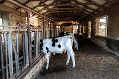 Kor i ladugården royaltyfria foton