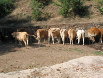 Kor i nordliga Grekland Arkivbilder