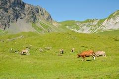 Kor i schweiziska fjällängar nära Melchsee Frutt arkivbilder
