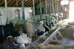 Kor i stallen Arkivbilder