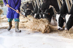 Kor i stor ladugård som äter hö med bonde- och höbaler Arkivbilder