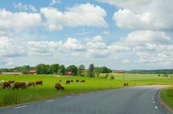 Kor i Upphärad på det gröna fältet i Sverige arkivfoto