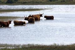 Kor i vatten i norden av Nederländerna Arkivbilder
