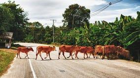 Kor korsar vägen Arkivfoto
