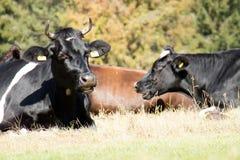 Kor lantgårddjur, i en äng kor som betar ängen soligt Royaltyfria Bilder