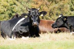 Kor lantgårddjur, i en äng kor som betar ängen soligt Arkivfoton