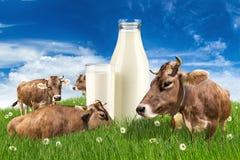Kor med mjölkar flaskan på äng Fotografering för Bildbyråer