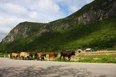 Kor och berg, sydlig del av Thailand. arkivbilder